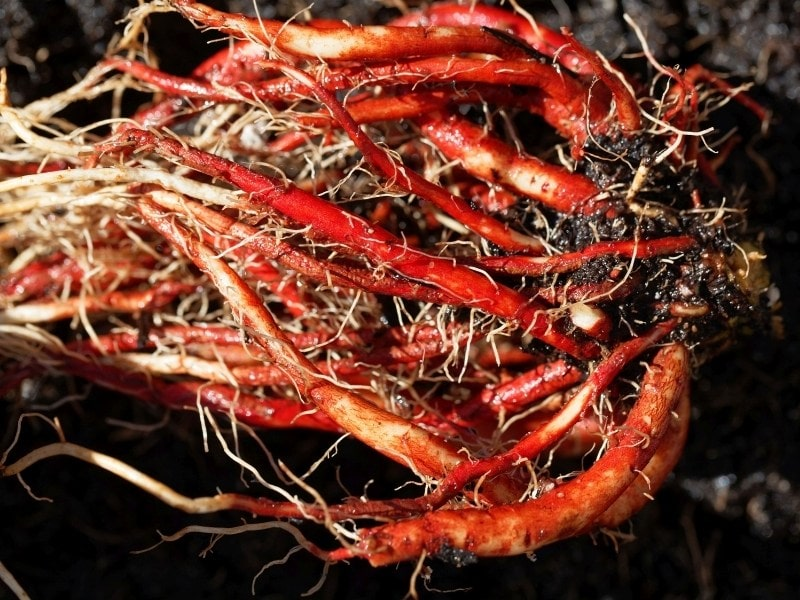 what is red sage root